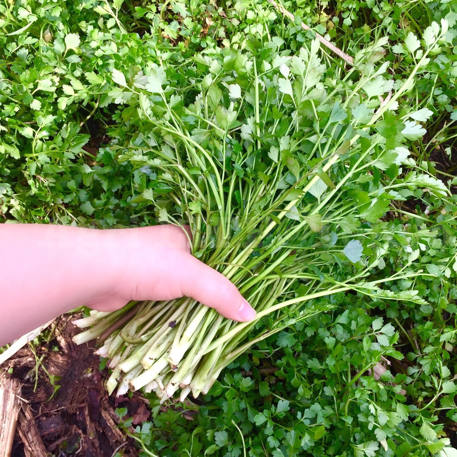【セリ】大きくなってきました。~収穫最盛期~