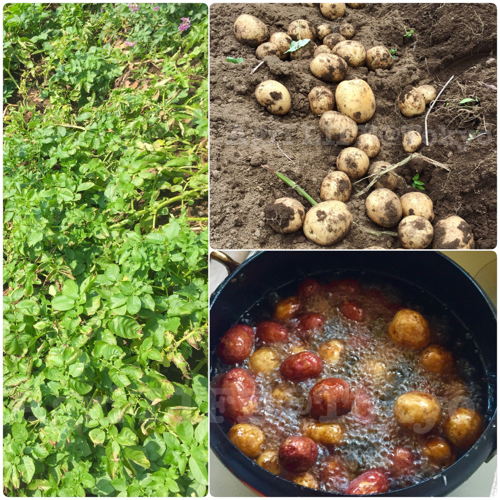 ジャガイモの早掘り(まだ小芋がエグかった)