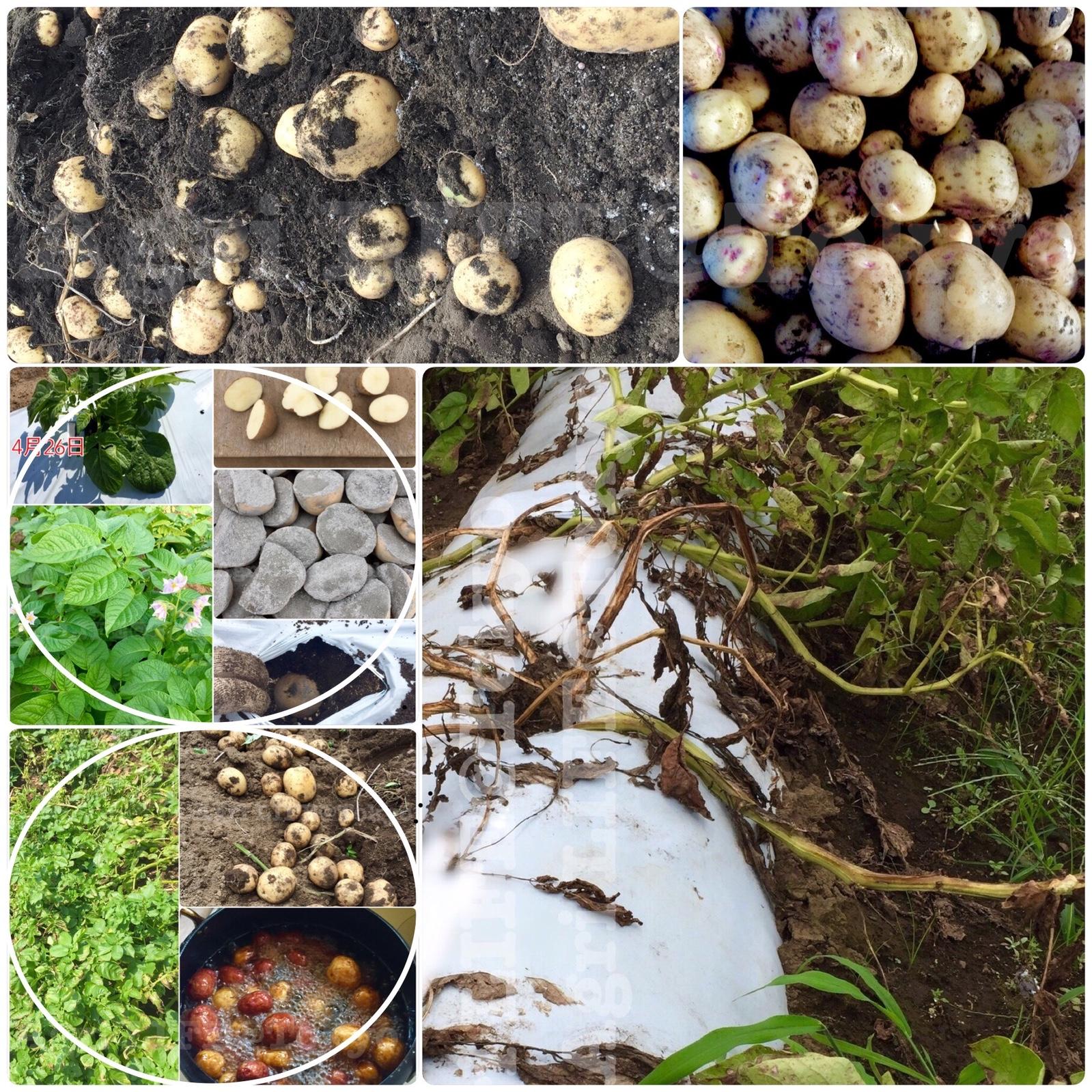 食用のジャガイモを植えて栽培