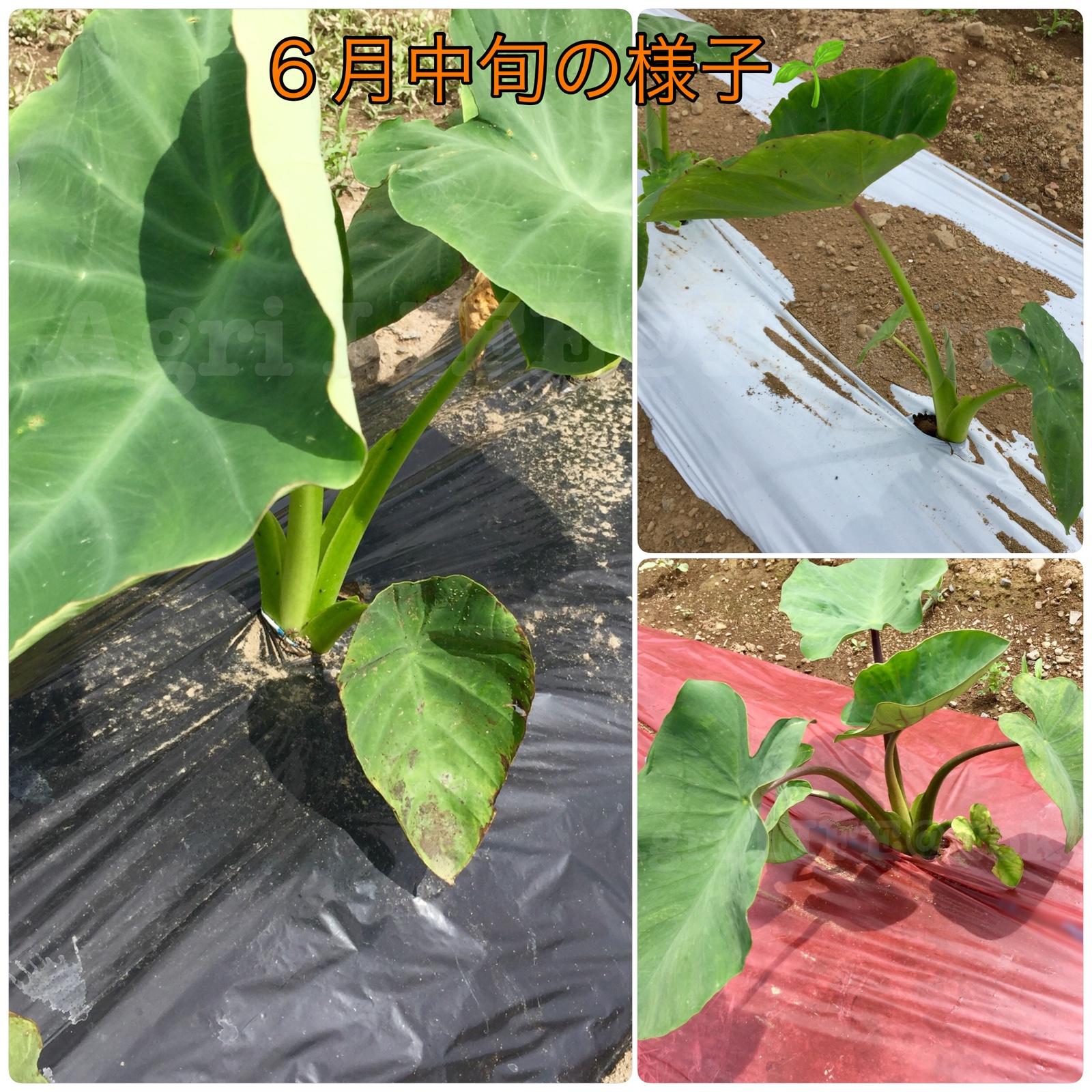サトイモ栽培(白・黒・透明マルチシート)