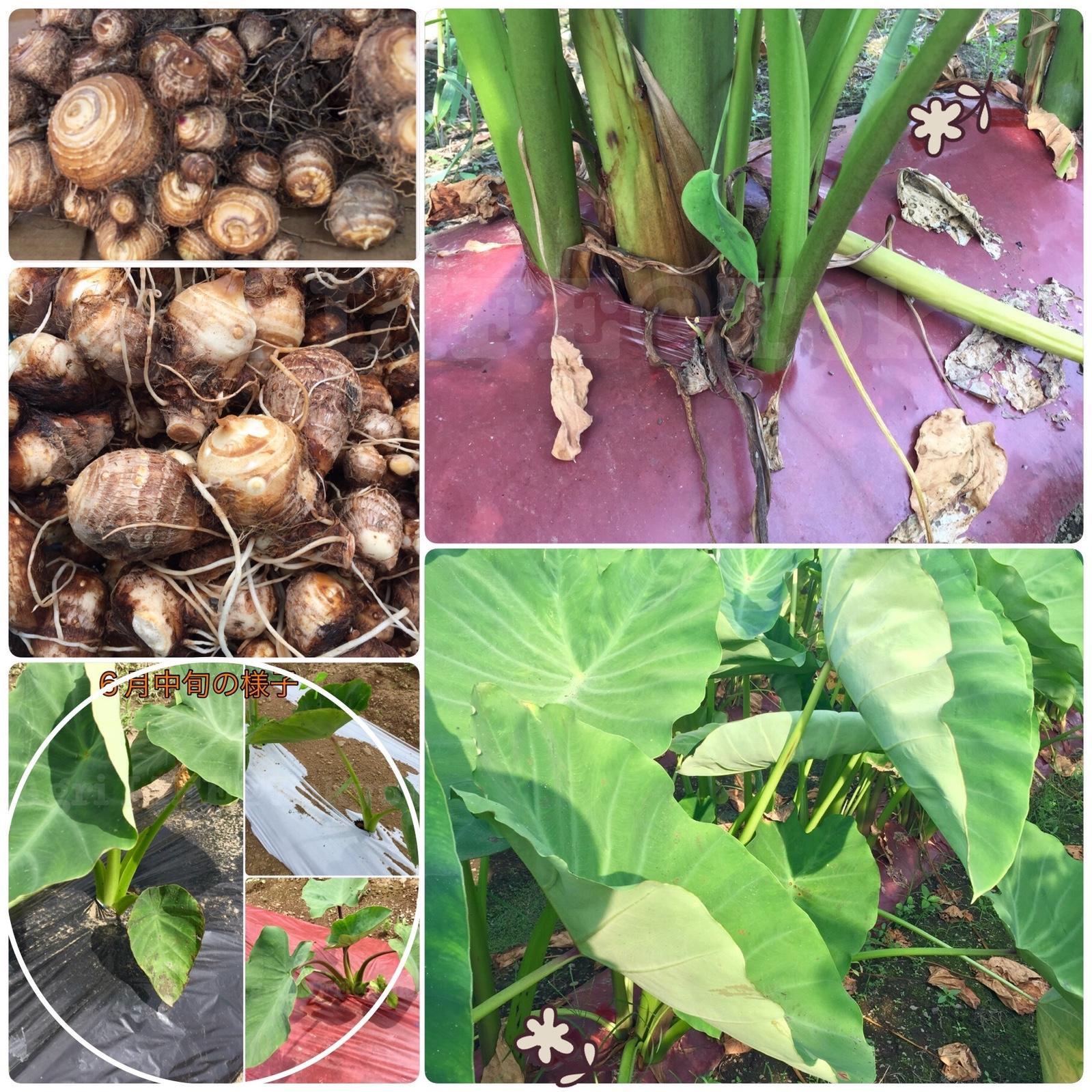 サトイモ(透明マルチシートで栽培)