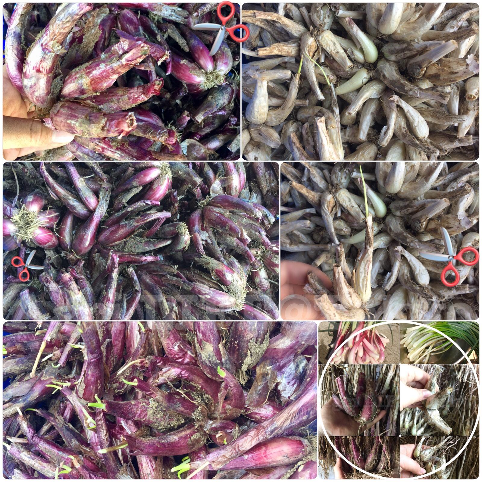 種らっきょう乾燥保存&植え付け準備