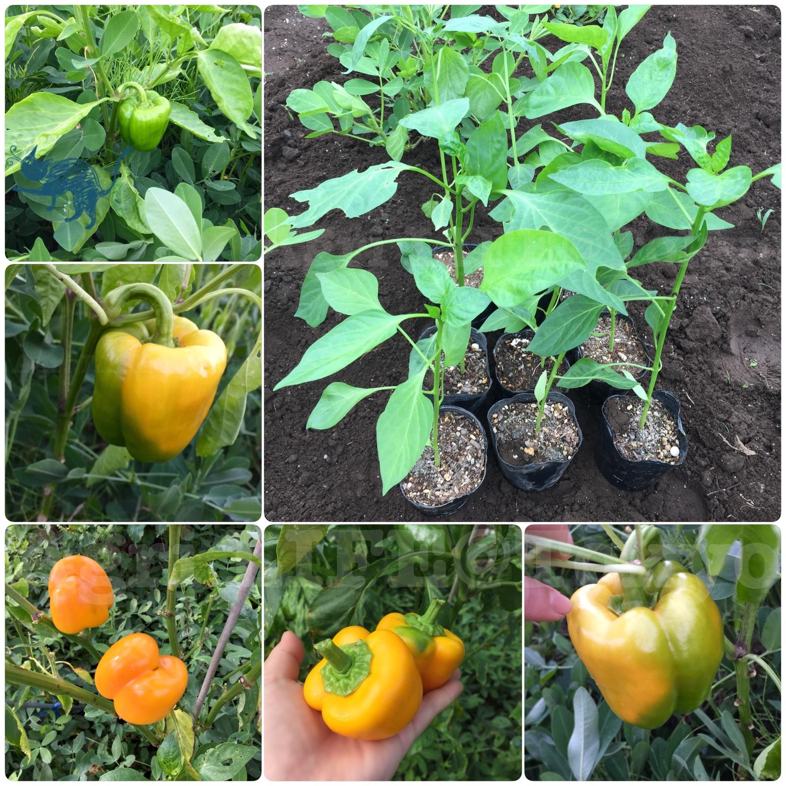 パプリカの食べ蒔き&栽培